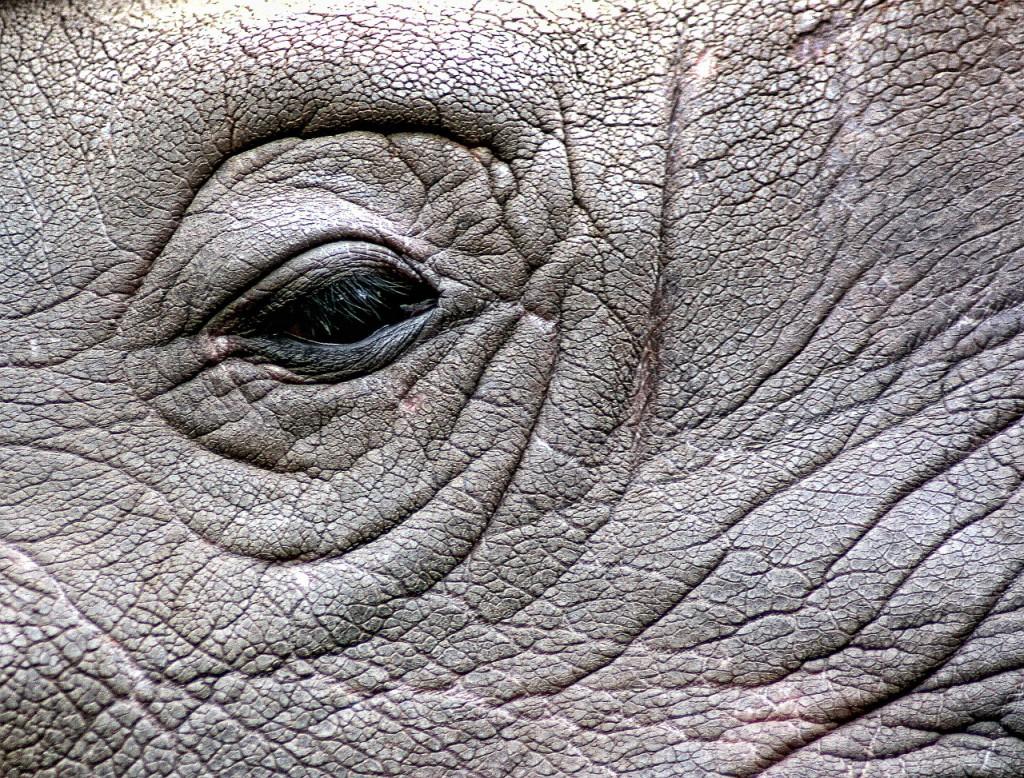 rhinoceros-448949_1280